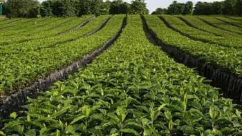 Se pone en marcha Programa de Renovación de Cafetales con recursos por $50.500 millones