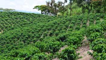 Producción de café de Colombia crece 18% en abril